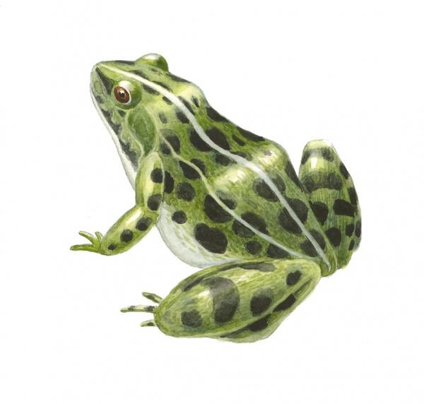 frog_6