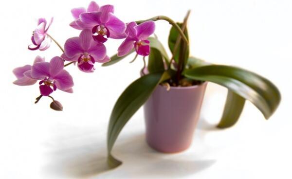 uhod-za-orhideej-v-domashnih-usloviyah
